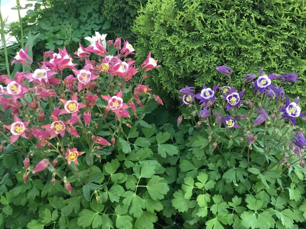 Розовая и синяя красавицы-аквилегии, растущие в Саду Евгения и Валентины…
